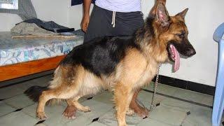 Download the honest dog ....... German Shepherd Video