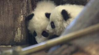 Download Panda Twins' first day out Video