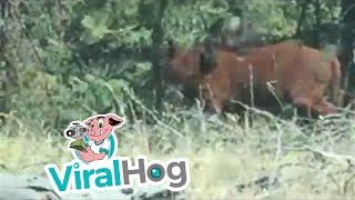 Download Rare Footage of a Grizzly Bear Attacking a Cow Video