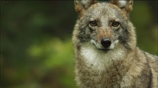 Download Meet the Coywolf: A New Hybrid Carnivore Roams the City | MetroFocus Video