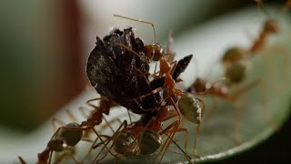 Download Ant Fortress Under Attack! - Life Story - BBC Video