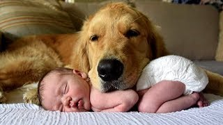 Download Golden Retriever and Babies Compilation Video