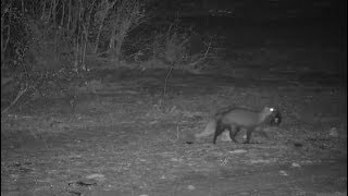 Download Djuma: White-tailed Mongoose carrying a baby Mongoose - 19:26 - 11/06/19 Video