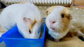 Download 10 Reasons NOT TO Get Guinea Pigs Video