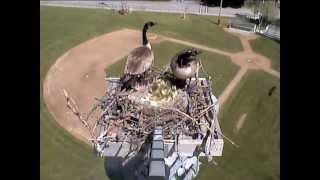 Download Goslings jumping - Sandpoint webcam - 05/29/2013 Video
