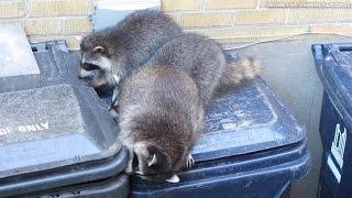 Download 3 raccoons team up for daytime garbage bin raid. Toronto. July, 2015 Video