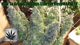 Download How To Grow Cannabis Current Kush HARVEST Video