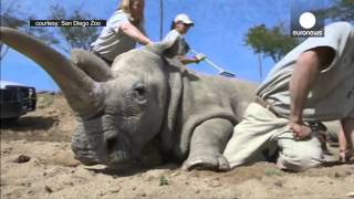 Download Death Of Nola, Last Northern White Rhino In America Video