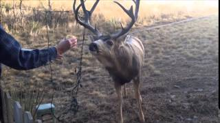 Download Deer Tangled in Christmas Lights - Rescued Video
