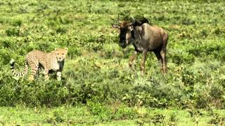 Download Cheetah teaching her cubs to hunt Video