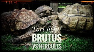 Download Moving Hercules the GIANT Sulcata Video