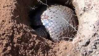 Download Armadillo digging the hole, Euphractus sexcenctus, Video