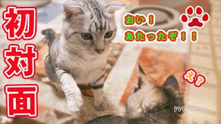 Download 人懐っこい子猫同士、初めて出会ったらどうなるのか A friendly kitten's,Alice and Fuku,when one first met 【瀬戸のふく日記】 Video