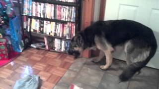 Download German Shepherd in trouble Video