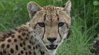 Download Moment of the Week: Cheetah Sighting in Djuma! Video
