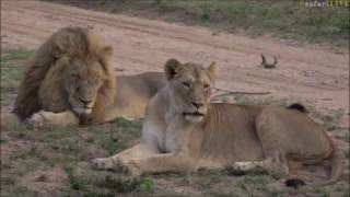 Download Safari Live : B Boy Mfumo and Nkuhuma Lioness Amber Eyes seen on drive with Jamie Nov 27, 2016 Video