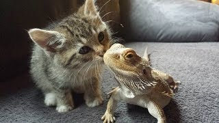 Download Cute Pet and Bearded dragon meeting for the first time | Funny Everyday Compilation Video