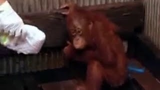 Download Endangered animals - Steve Leonard goes in search of a captive baby orangutan - BBC wildlife Video