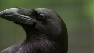 Download The Raven: Stealing, Spying and Bluffing | Extraordinary Animals | BBC Earth Video