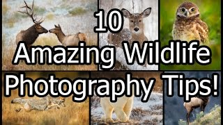 Download 10 Amazing Wildlife Photography Tips Video