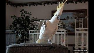 Download Смешные и талантливые попугаи ▶ Video