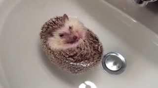 Download Hedgehog Boat Video