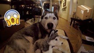 Download SOMEONE SENT US GOHAN'S HUSKY TWIN?! - Husky Fan Mail #2 Video