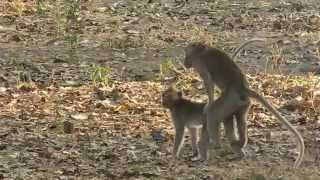 Download Animal Romance - Funny Monkey Making Love | Sweet Moment Video