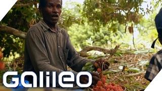 Download So kommt die Litschi von Madagaskar zu uns in den Supermarkt | Galileo Lunch Break Video