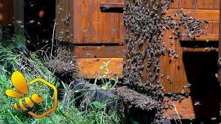Download Pasieka Początkującego Pszczelarza - #79 Letnia kontrola odkładów - sierpień 2017 Video