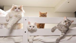 Download 2층 침대를 점령한 고양이들 Video