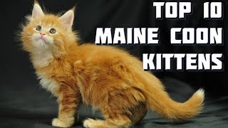 Download Top 10 Maine Coon Kittens - Vote for the best Maine Coon Kitten Video