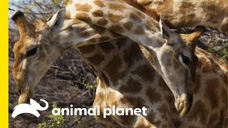 Download Giraffe Attack Reminds Us How Unpredictable Animals Can Be Video