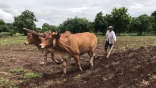 Download Arando las tierras para sembrar la milpa de invierno en El Salvador. Video