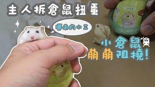 Download 《倉鼠人開箱》許伯拆倉鼠扭蛋,小捷運萌萌阻撓!貪吃鬼扭蛋開箱! Video