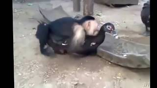 Download Funny Vines - Funny Pranks - Funny Animals - Funny Moneky Mating - Funny Monkey Video
