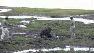 Download Rescuing an elephant baby in Chobe National Park Video