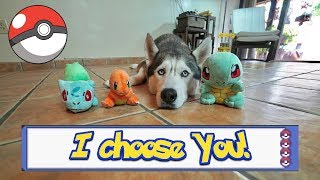 Download Husky Chooses His Starter Pokemon! Video