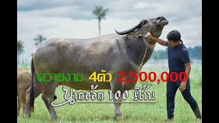 Download ควายงาม 4ตัว ราคา 2,500,000 บาท ที่เจ้าตากฟาร์ม จังหวัดชลบุรี Video