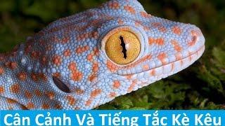 Download Cận Cảnh Rõ Nét Con Tắc Kè - Hình Ảnh Và Tiếng Tắc Kè Kêu Video