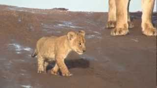 Download Lion Cubs Growling in the Serengeti Video
