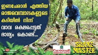 Download Wow! Vava was lucky enough to escape from the bite of King Cobra and its mate | Snakemaster Video