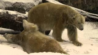 Download Polar Bears Playing in Snow - Cincinnati Zoo Video