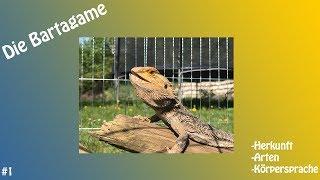 Download Die Bartagame; Herkunft und Körpersprache; Video #001 Video