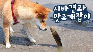 Download 신기한 맛조개를 본 강아지 반응ㅋㅋ / 갯벌에서 맛조개 잡기/ 시바견 곰이탱이 Shibainu Video