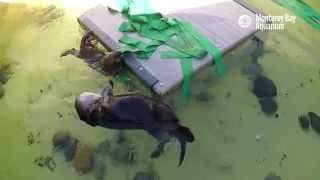 Download Saving Sea Otter 696: Meeting Mom Video