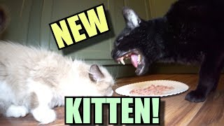 Download Talking Kitty Cat - Meet The New Kitten! Video