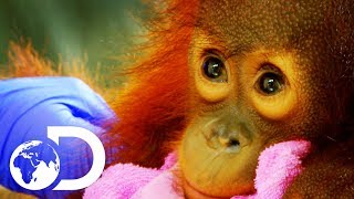 Download Peanut: The Adorable 15 Month Old Orangutan Baby | Meet The Orangutans Video