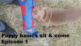 Download episode 1 following the leash walking sit front obedience puppy training pitbull pup rednose Video