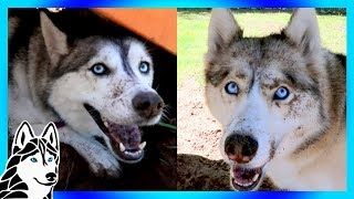 Download WHAT DID YOU DO ! HUSKY DIGGING PARTY Video